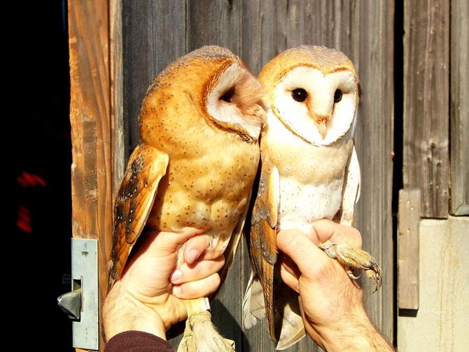 Couple de chouettes effraie (Tyto alba), assez abondantes dans la région.