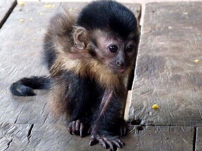 Un bébé singe en Amazonie.